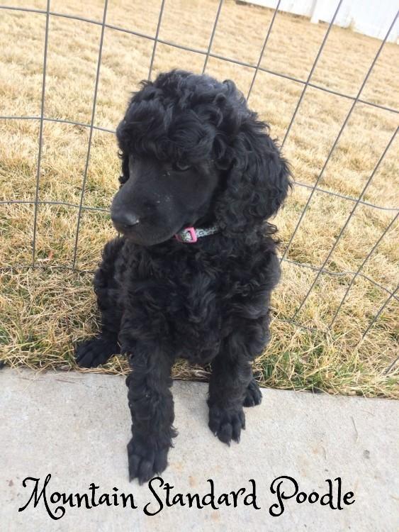 Mountain Standard Poodle