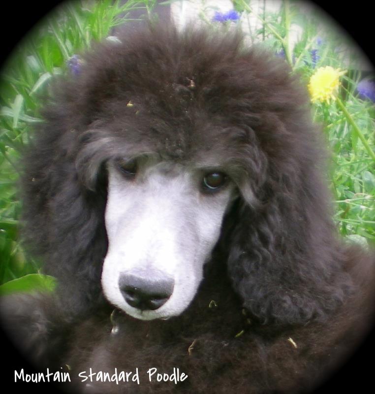 silver standard poodle for sale #standardpoodle