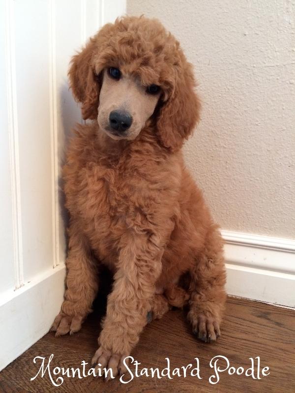 red standard poodle puppy for sale #standardpoodle