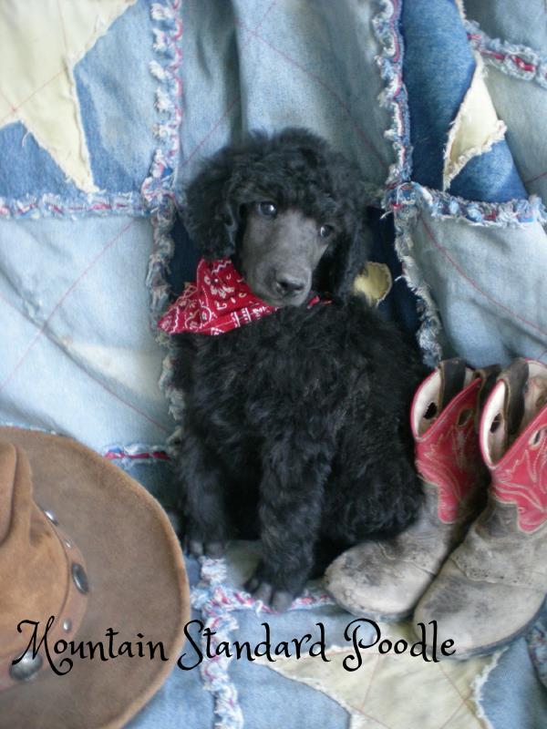 blue standard poodle puppy #standardpoodle