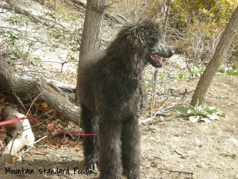 Blue Standard Poodle #standardpoodle