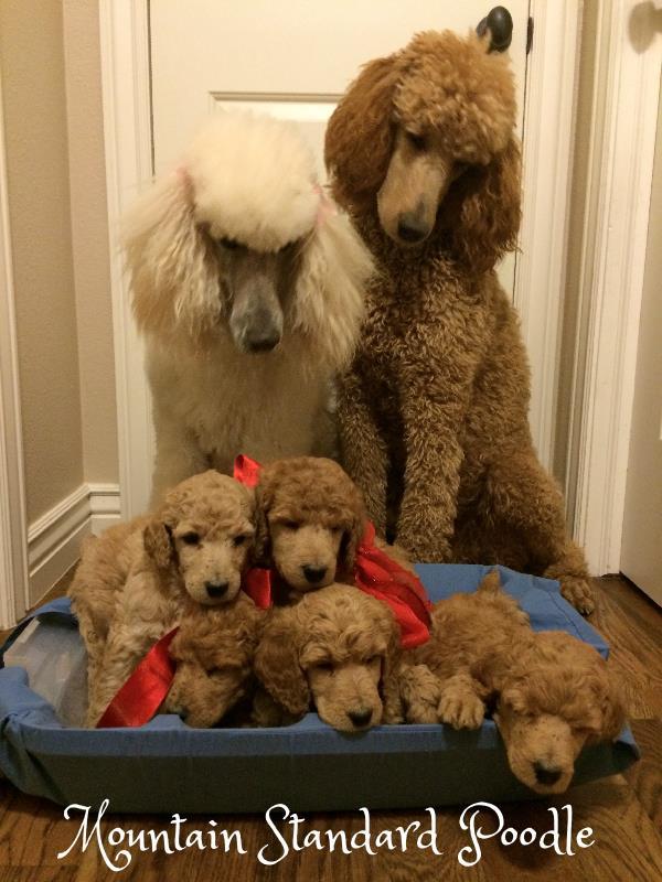 standard poodle family #standardpoodle