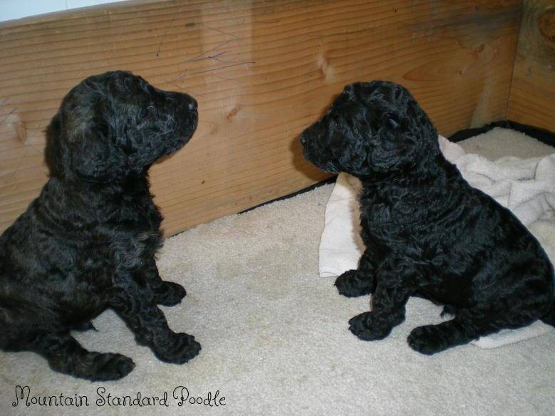 Standard Poodle Puppy pictures #standardpoodle