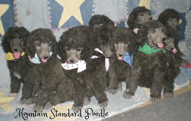 #standardpoodle #standard poodle puppies