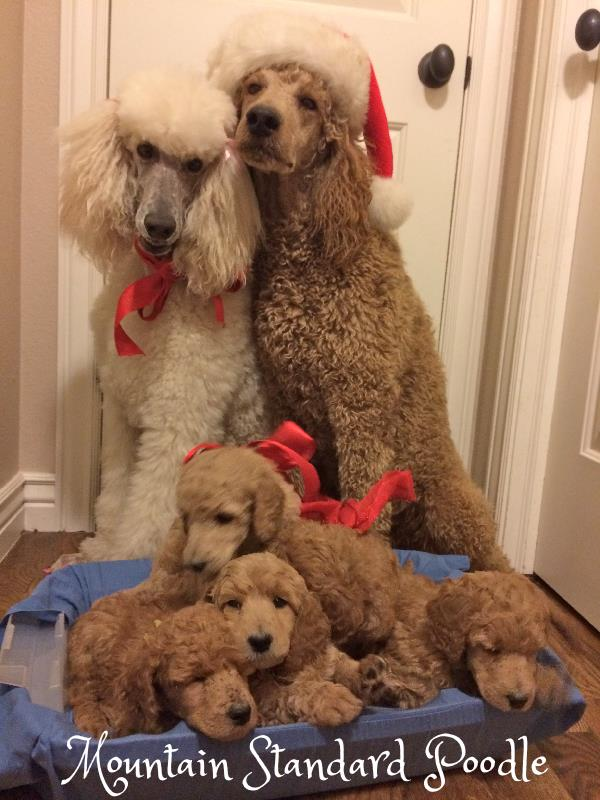 christmas standard poodle family red apricot white standard poodle #standardpoodle