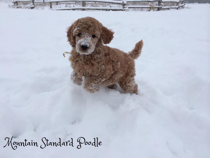 standard poodle puppy in snow #standardpoodle