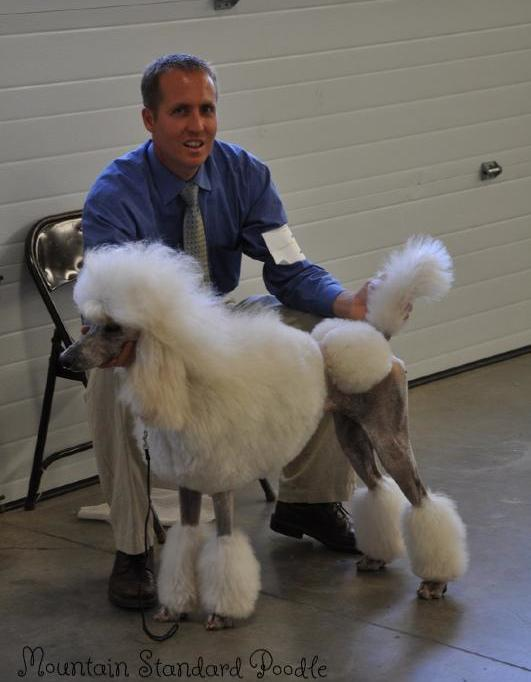 picture of standard poodle in continental haircut