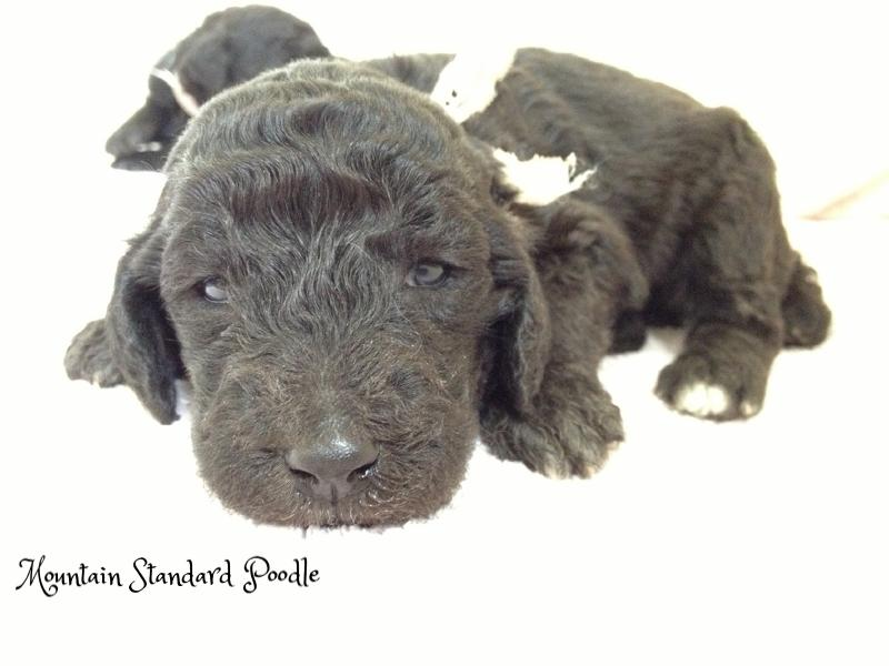 silver standard poodle puppy