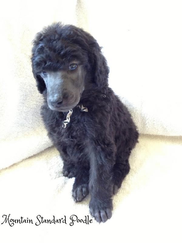 silver standard poodle #standardpoodle