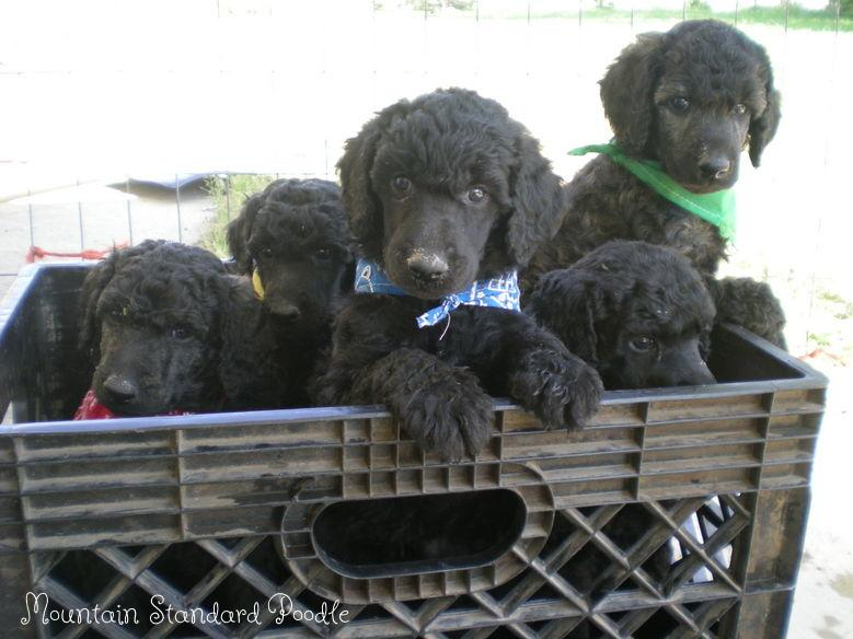 Mountain Standard Poodle puppies #standardpoodle