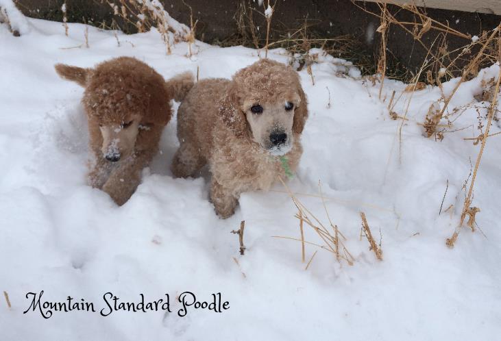 standard poodles in the snow #standardpoodle