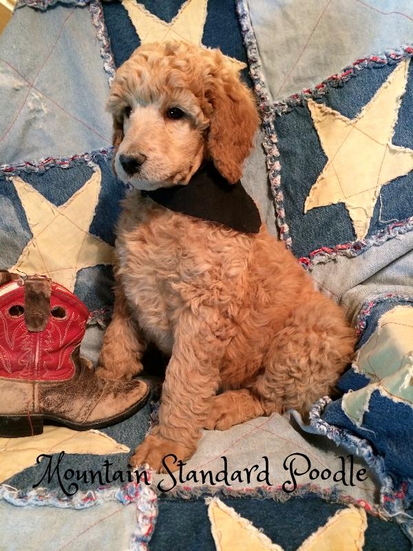 standard poodle puppies #standardpoodle
