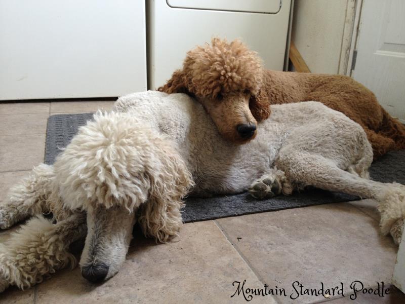 standard poodles #standardpoodle