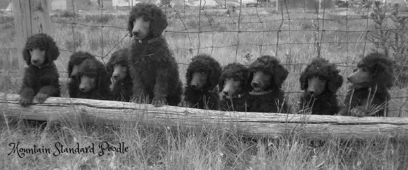 silver standard poodle puppy for sale