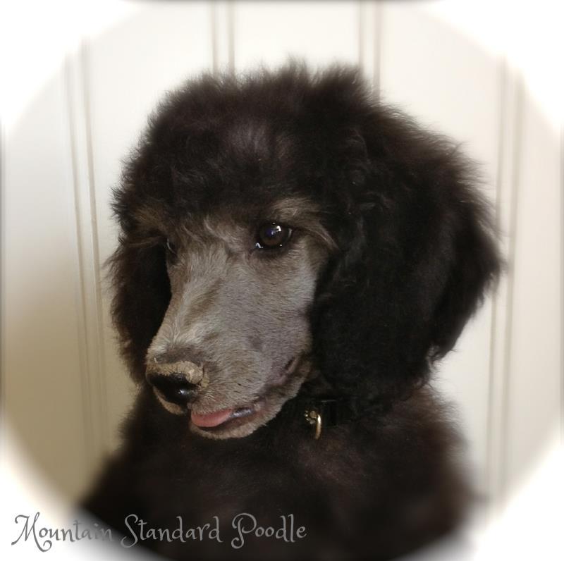 silver standard poodle puppy #standardpoodle