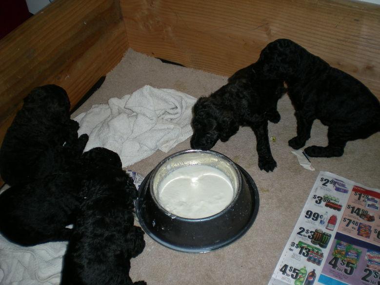 Standard Poodle Puppy for sale #standardpoodle