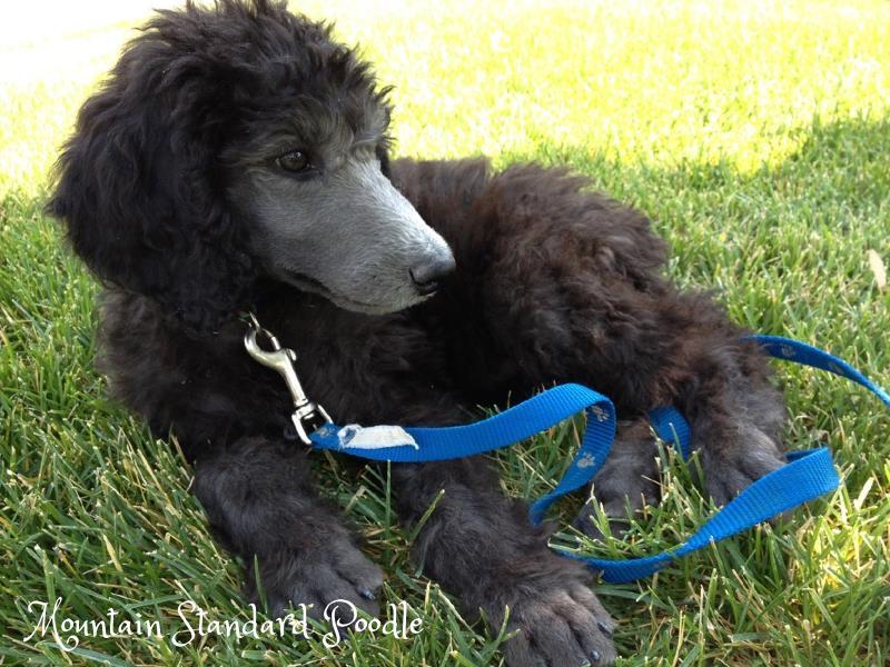 #standardpoodle silver standard poodle