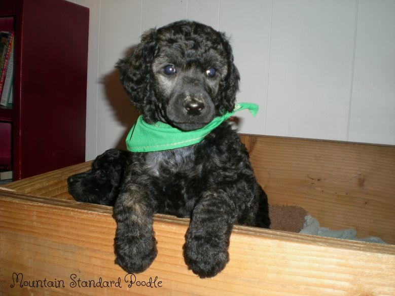 photo album of standard poodle puppies  We have red, blue