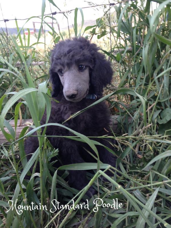 standard poodle puppy #standardpoodle