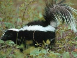 we remove skunk and other wild animals
