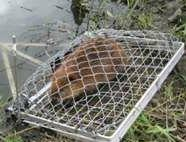 beaver trapper and wild animal removal