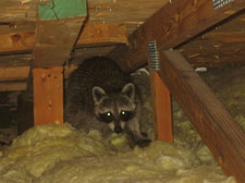 raccoon removal,