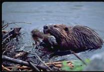 Mass beaver control and trapper