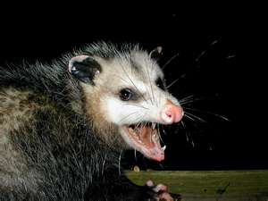 opossum removal and ccontrol