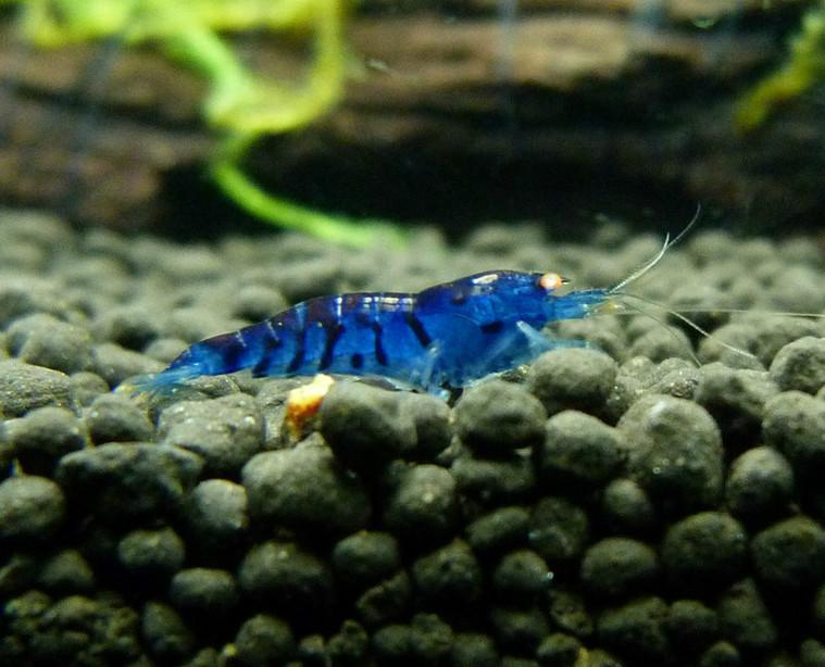 Buy Crayfish Buy Neocaridina Shrimp Buy Snails