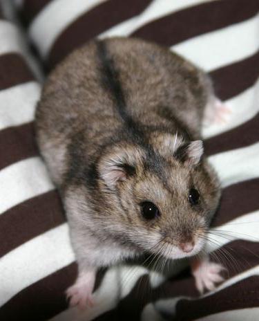 newborn baby hamster