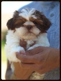 Shih Tzu Puppies Akc Liver Gene