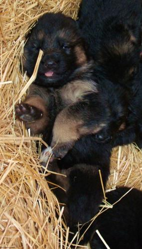 German Shepherd puppies California, German Shepherd puppies bend oregon, german shepherd puppies ashland, german shepherd puppies salem