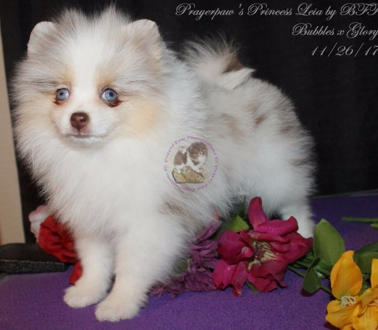 White & Black Pomeranian Puppies for Sale by Breeder in
