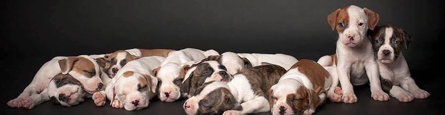 sprenkelsamericanbulldogs