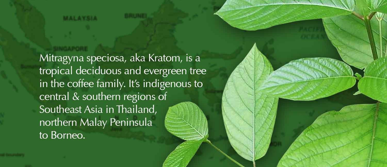 twinleaf-botanicals-malaysia-kratom-borneo-slider7