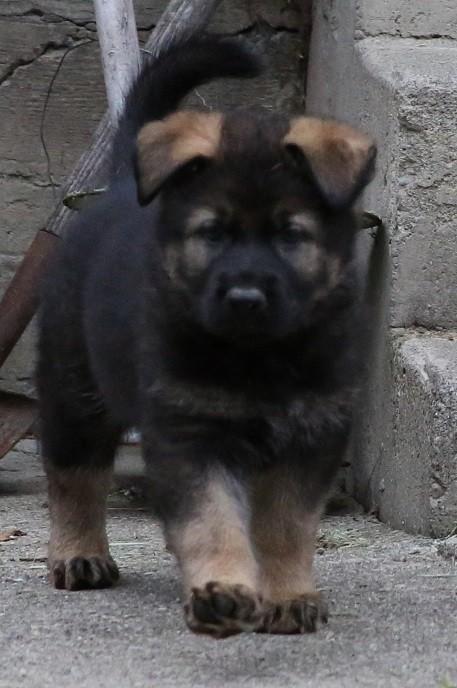 Waldkonig K-9 German Shepherd Dogs