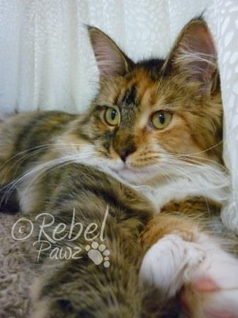 RebelPawz Maine Coons Home