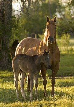 Blue Valentine Hancock Quarter Horses Mares Horse for Sale