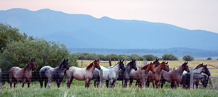 Blue and Red Roan Quarter Horse Ranch Fillies for Sale 3 Three Bar Quarter Horses and Munns Ranch