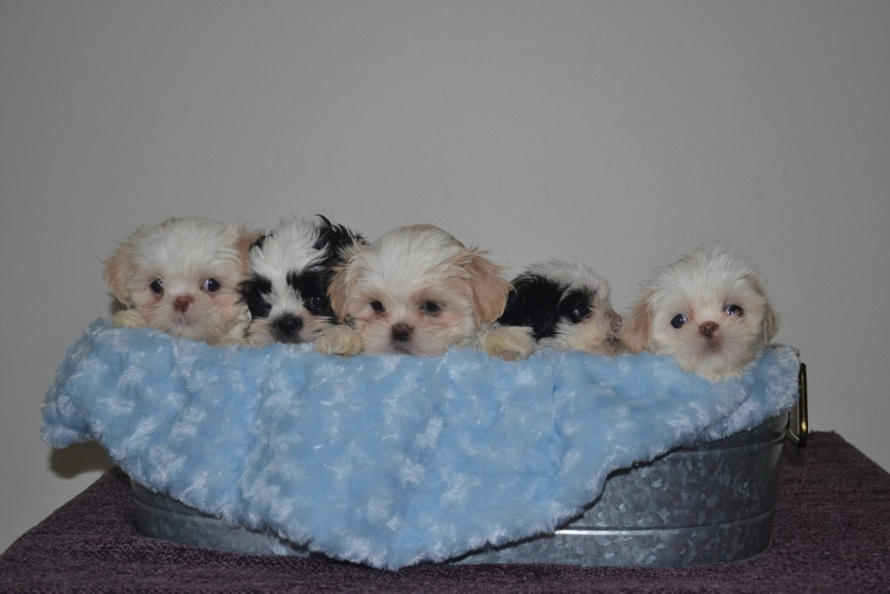 Georgia Shih Tzu Puppies GeorgiaShihTzuPuppies