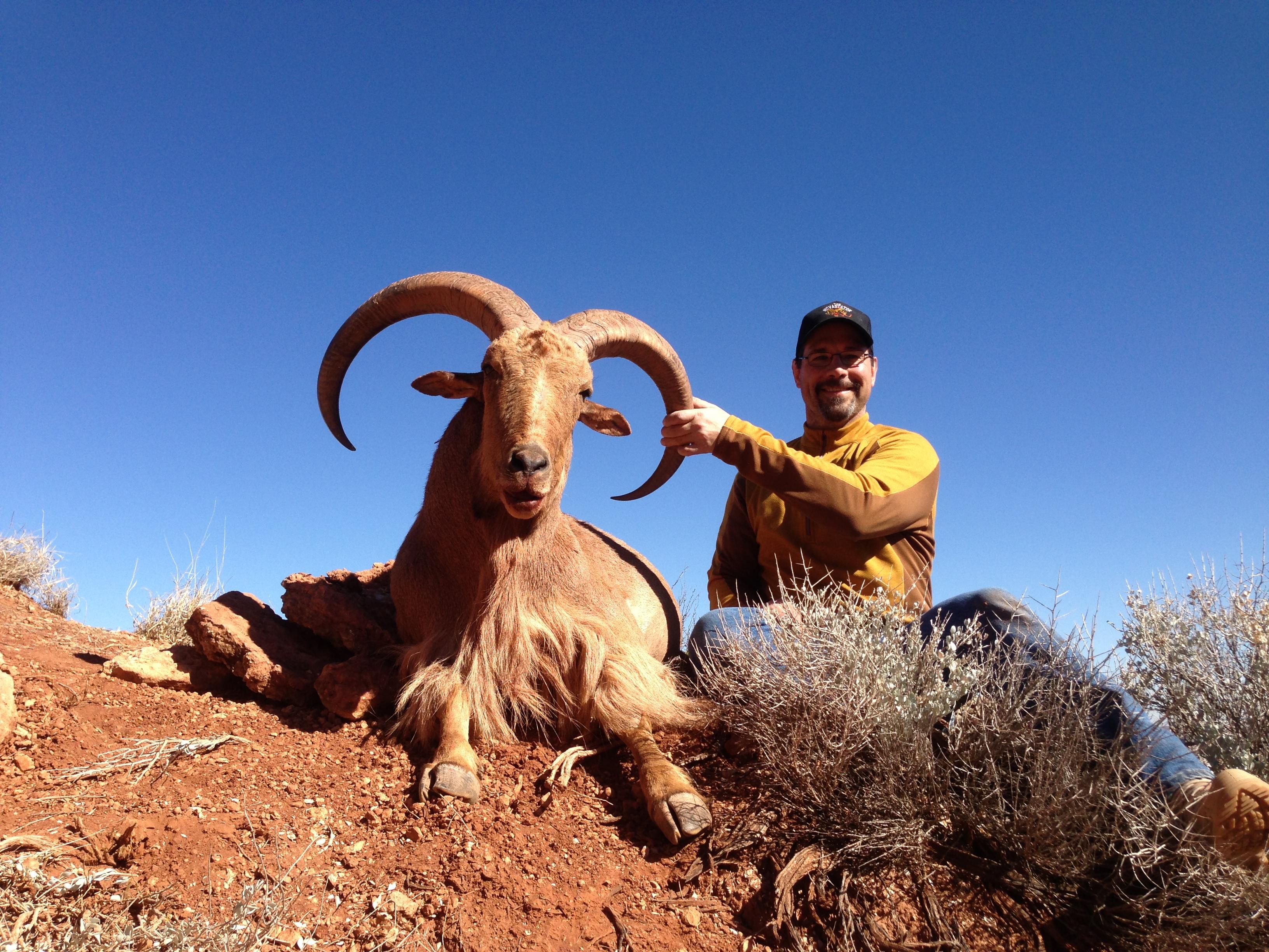 Texas Aoudad Rams