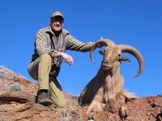 Free range Aoudad Sheep